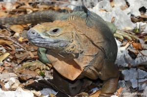 Jamaican Iguana - Joseph Burgess