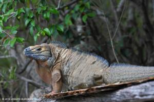 Male Jamaican Iguana