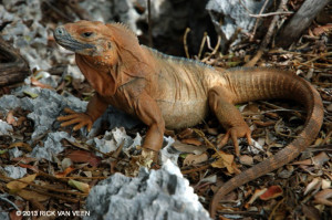 Female Jamaican Iguana - Rick Van Veen