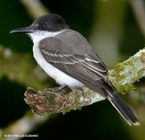 "Loggerhead Kingbird <span class=""un-italicize"">(Tyrannus caudifasciatus)</span> - Ted Lee Eubanks"