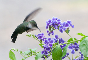 "Vervain Hummingbird <span class=""un-italicize"">(Mellisuga minima)</span> - Claude Fletcher"