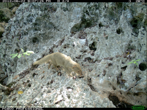 Mongoose are extremely destructive by killing native birds, reptiles, and invertebrates - Jamaican Iguana Recovery Group