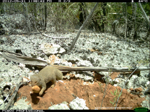 Mongoose will eat all iguana eggs that are not protected - Jamaican Iguana Recovery Group