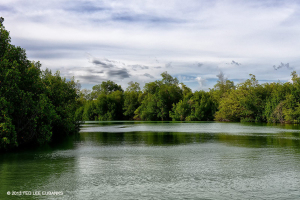 Salt Creek is lined with several Mangrove species - Ted Lee Eubanks