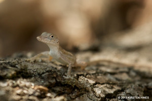 "There are several species of Anoles (<span class=""un-italicize"">Anolis</span> sp.) in Hellshire - Kirsten Hines"