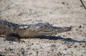 """The wetlands along Hellshire coast provide important habitat for American crocodiles <span class=""""un-italicize"""">(Crocodylus acutus)</span> such as this youngster  - Byron Wilson"""