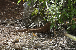 Hungry_female_Jamaica_Iguana_EvertHenningheim