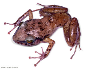 "Originally known only from Jackson's Bay cave in Portland Bight, the Critically Endangered Portland Bight Cave Frog <span class=""un-italicize"">(Eleutherodactylus cavernicola)</span> was discovered in central Hellshire around 10 years ago - Blair Hedges"