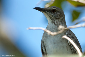 "Bahama Mockingbird <span class=""un-italicize"">(Mimus gundlachii hillii)</span> fills the forest of Hellshire with clever songs and is found in the PBPA - Kirsten Hines"