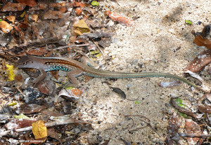 "The Jamaican Ameiva <span class=""un-italicize"">(Ameiva dorsalis)</span> is also found only in Jamaica - Ted Lee Eubanks"