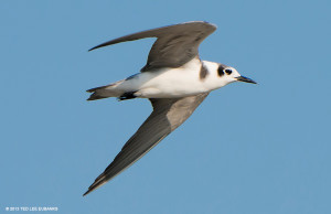 "Black Terns <span class=""un-italicize"">(Chlidonias niger)</span> eat fish and insects - Ted Lee Eubanks"