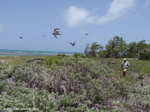Brandon Hay of C-CAM surveys nesting of Brown Noddys on Little Half Moon Cay - Lisa Sorenson