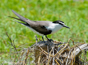 "Bridled tern <span class=""un-italicize"">(Onychoprion anaethetus)</span> - Ted Lee Eubanks"