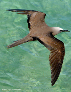 "Brown Noddy <span class=""un-italicize"">(Anous stolidus)</span> - Ted Lee Eubanks"