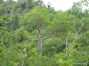 "Rare Jamaican endemic Grey Birch <span class=""un-italicize"">(Bursera hollickii)</span> found almost exclusively in the PBPA. Four trees were rediscovered on Long Mountain in 2000; the total estimated number of these trees is 20-30. At 25+ meters, it is one of the tallest trees in the dry tropical forest, together with the equally rare West Indian Mahogany and Silk Cotton Tree - Andreas Oberli"