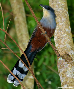 "Chestnut-bellied Cuckoo <span class=""un-italicize"">(Coccyzus pluvialis)</span> is endemic to Jamaica - Ted Lee Eubanks"