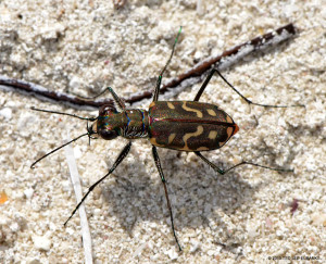 "Tiger Beetle <span class=""un-italicize"">(Cicindela rufiventris)</span> - Ted Lee Eubanks"