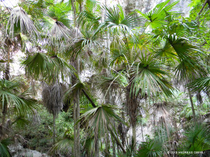 "Common endemic Silver Thatch Palm <span class=""un-italicize"">(Coccothrinax jamaicensis)</span> typically forms stands like this and is most frequently found in Hellshire and Portland Ridge. It is an important food source for birds and provides raw material for local craft manufacture (woven bags, baskets, hats, etc.) - Andreas Oberli"