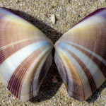 Wedge Clam (Donax hanleyanus), a marine bivalve mollusk species - Ted Lee Eubanks