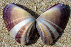 "Wedge Clam <span class=""un-italicize"">(Donax hanleyanus)</span>, a marine bivalve mollusk species - Ted Lee Eubanks"