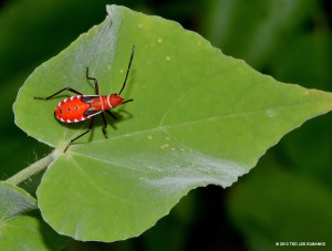 """St. Andrew's Cotton Stainer <span class=""""un-italicize"""">(Dysdercus andreae)</span> - Ted Lee Eubanks"""