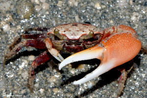 Fiddler Crabs are important scavengers in the PBPA - Ted Lee Eubanks