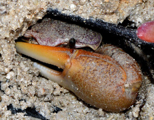 Fiddler Crabs use their large front claw for defense - Ted Lee Eubanks
