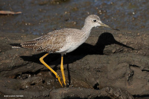 "Greater Yellowlegs <span class=""un-italicize"">(Tringa melanoleuca)</span> is one of the many shorebird species that winters in the PBPA and Goat Islands, having migrated thousands of miles from it's sub-arctic breeding habitat - David Rayner"