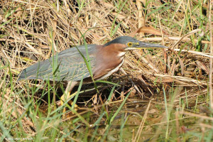 "Green Herons <span class=""un-italicize"">(Butorides virescens)</span> are resident in the PBPA - David Rayner"