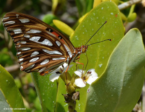 "Gulf Fritillary <span class=""un-italicize"">(Agraulis vanillae)</span> feeding on a White Mangrove - Ted Lee Eubanks"