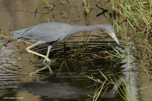 "Little Blue Heron <span class=""un-italicize"">(Egretta cerulean)</span> breeds in freshwater and estuarine habitats - Ted Lee Eubanks"