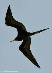 "The male Magnificent Frigatebird <span class=""un-italicize"">(Fregata magnificent)</span> has no white coloration and a red throat patch - Ted Lee Eubanks"
