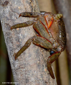 Mangrove Crab - Ted Lee Eubanks