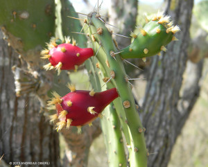 "Ripening fruits of the rare <span class=""un-italicize"">Opuntia jamaicensis</span> - Andreas Oberli"