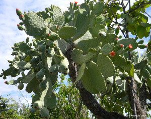 "Female Prickly Pear Tree <span class=""un-italicize"">(Opuntia spinosissima)</span>. The only large and healthy population of this plant is in Hellshire - Andreas Oberli"