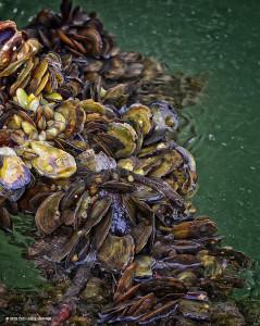 "Mangrove Oysters <span class=""un-italicize"">(Crassostrea gasar)</span> and Brown Mussels <span class=""un-italicize"">(Perna perna)</span> attached to mangrove roots, Salt Creek, PBPA - Ted Lee Eubanks"