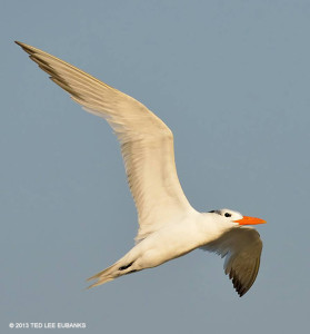 "Royal Tern <span class=""un-italicize"">(Thalasseus maximus)</span> - Ted Lee Eubanks"