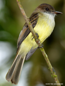 "Sad Flycatcher <span class=""un-italicize"">(Myiarchus barbirostris)</span> is found only in Jamaica - Ted Lee  Eubanks"