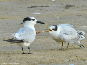 "Sandwich Tern <span class=""un-italicize"">(Thalasseus sandvicensis)</span> - Ted Lee Eubanks"