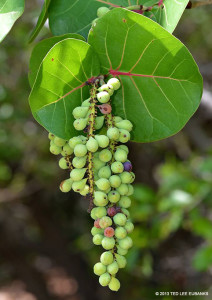 "Sea Grape <span class=""un-italicize"">(Coccoloba uvifera)</span> fruits are edible when purple and full of vitamins - Ted Lee Eubanks"