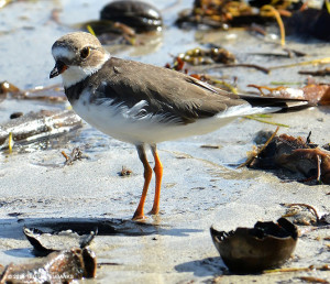 "Semipalmated Plover <span class=""un-italicize"">(Charadrius semipalmatus)</span> is a common winter migrant in the PBPA - Ted Lee Eubanks"