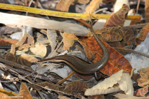"Previously considered to be a Greater Antillean species, the endemic Jamaican Skink <span class=""un-italicize"">(Spondylurus fulgidus)</span> was described as unique in 2012, and is regarded as Critically Endangered - Joseph Burgess"