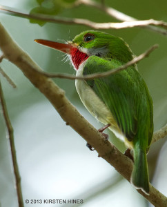 The tiny endemic Jamaican Tody is very curious and visible despite its size - Kirsten Hines
