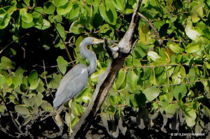 "Tricolored Heron <span class=""un-italicize"">(Egretta tricolor)</span> perched in White Mangrove - David Rayner"