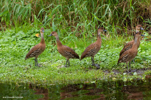 "West Indian Whistling Ducks <span class=""un-italicize"">(Dendrocygna arbor)</span>, are most active at sunset and during the night. During the day, they typically roost in mangroves and shoreline vegetation; at night they fly around to different wetlands to feed, giving their beautiful and haunting whistling call - Claude Fletcher"