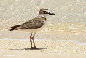 "Wilson's Plover <span class=""un-italicize"">(Charadrius wilsonia)</span> has a large bill that helps it catch larger prey items than other plovers on the beaches of the PBPA - Ted Lee Eubanks"