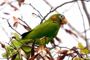 "The Jamaican or Yellow-billed Parrot <span class=""un-italicize"">(Amazona collaria)</span> is endemic to Jamaica - Claude Fletcher"