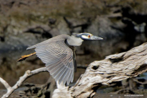 "Yellow-crowned Night-Heron <span class=""un-italicize"">(Nyctanassa violate)</span> is a common bird in mangrove and swamp habitats of the PBPA and is generally nocturnal - David Rayner"