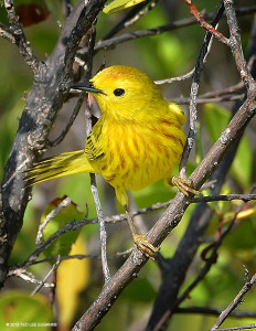 "Yellow Warbler <span class=""un-italicize"">(Setophaga petechia)</span> - Ted Lee Eubanks"