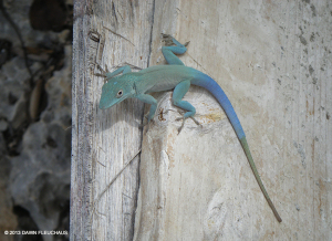 "This Jamaican Anole <span class=""un-italicize"">(Anolis grahami)</span> at one point lost and regenerated part of its tail - Dawn Fleuchaus"